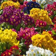 Polyanthus mix - Primula Veris elatior mix - 200 seeds